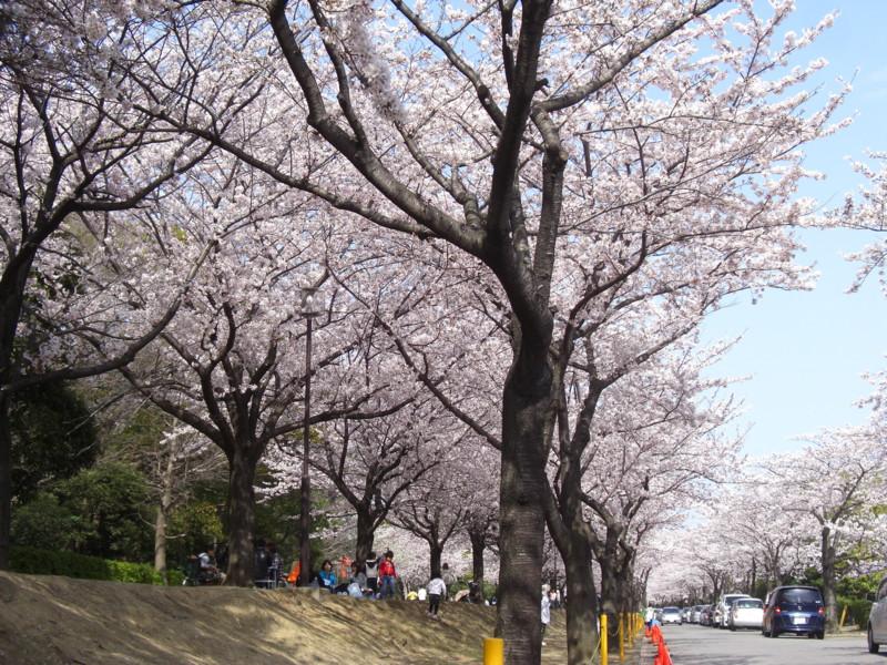 市原緑地運動公園の桜