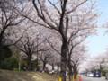[桜]市原緑地運動公園の桜