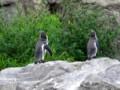 [動物]葛西臨海水族園のペンギン
