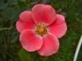 [花]ピンクメイディランド