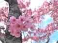[植物]桜(ヨウコウ(陽光))