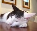 [台湾][猫]猫カフェの猫