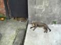 [台湾][猫]暑さでぐったりしている猫さん