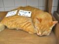 [猫]江ノ島のとあるお店の看板猫