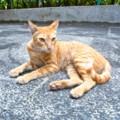 [シンガポール][猫]シンガポールの猫