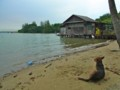 [シンガポール][風景写真][動物]ウビン島の犬