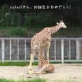[お祝い]東山動物園のアミメキリン