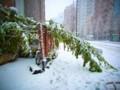 [風景写真]雪の影響で折れ曲がった木