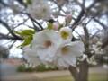 [植物]桜(白妙)