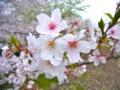 [植物]桜(ソメイヨシノ)