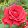 [フランス][花]薔薇
