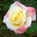 [植物]薔薇