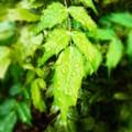 [植物]雫と葉っぱ