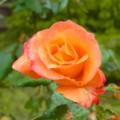 [植物]薔薇(プリンセス・ミチコ)