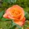 薔薇(プリンセス・ミチコ)