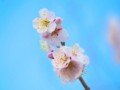 [植物]梅
