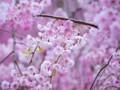 [植物]しだれ桜
