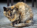 [猫]実家の近くにいた、さび猫