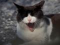 [猫]あくびをする猫