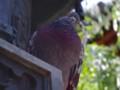 [動物]鳩