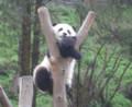 [ハイク]パンダ