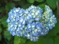 [植物]紫陽花