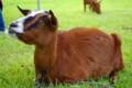 [動物]山羊