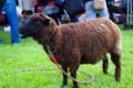 [動物]黒い肌・茶色い毛の羊