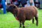 黒い肌・茶色い毛の羊