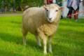 [動物]羊