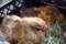 成田ゆめ牧場(移動動物園)のモルモット