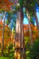 [風景写真][植物]石山寺の大木
