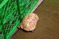 [動物]天王寺動物園のヒョウモンガメ