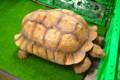 [動物]天王寺動物園のケヅメリクガメ