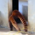 [動物]レッサーパンダの尻尾