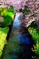 [風景写真]桜と菜の花と川
