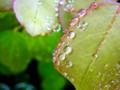 [植物]葉っぱと雫
