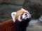 レッサーパンダ(シセンレッサーパンダ)