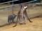 千葉市動物公園のオオカンガルー