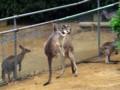 [動物]千葉市動物公園のオオカンガルー