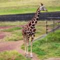 [動物]千葉動物公園のアミメキリン