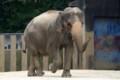 [動物]千葉市動物公園のアジアゾウ