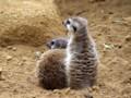 [動物]千葉市動物公園のミーアキャット