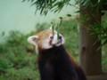 [動物]千葉市動物公園のレッサーパンダ