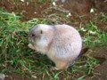 [動物]千葉市動物公園のオグロプレーリードッグ