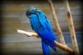 [動物]千葉市動物公園のルリコンゴウインコ