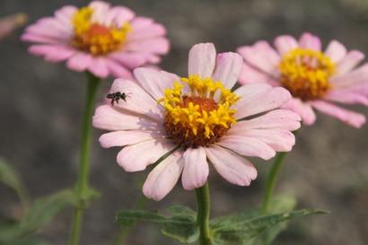 花にとまるハリナシミツバチ photo by 認定NPO法人テラ・ルネッサンス