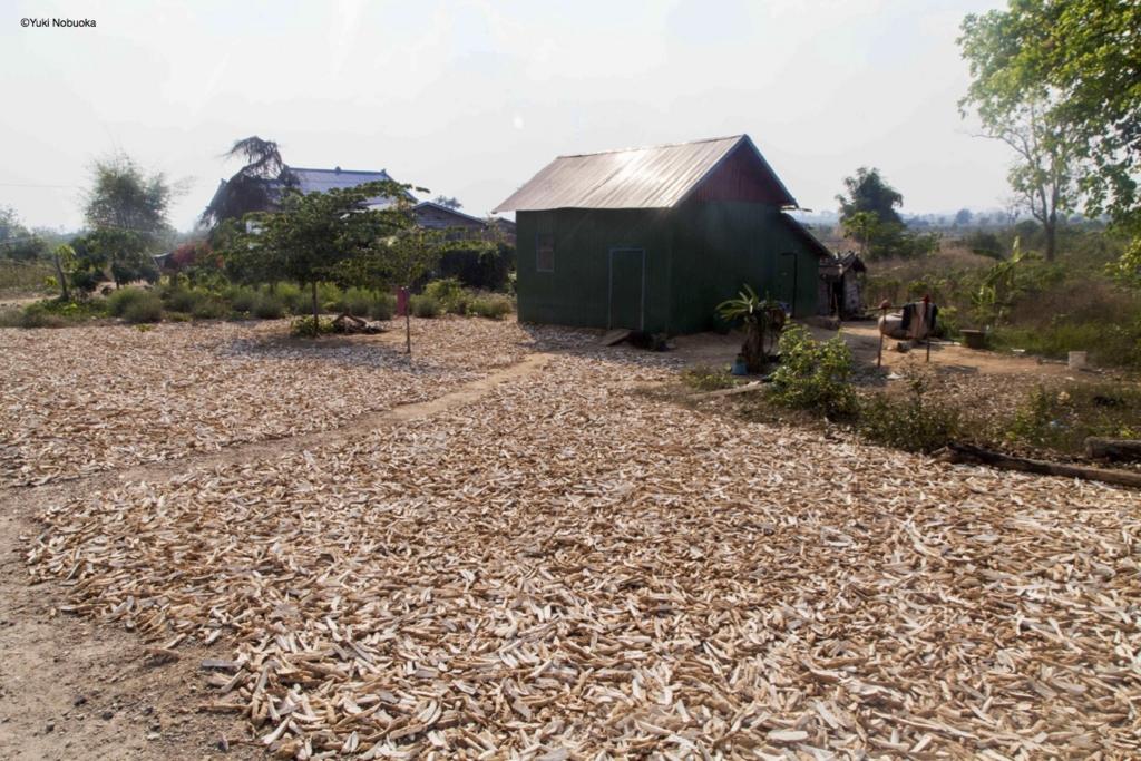 乾燥している大量のキャッサバ photo by Yuki Nobuoka