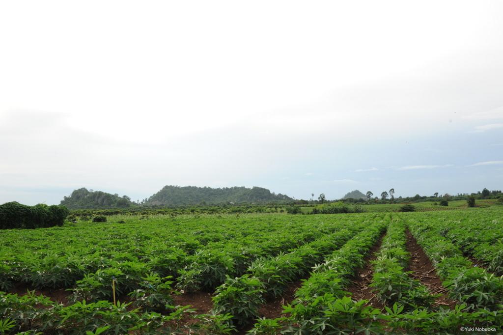 広大なキャッサバ畑 photo by Yuki Nobuoka