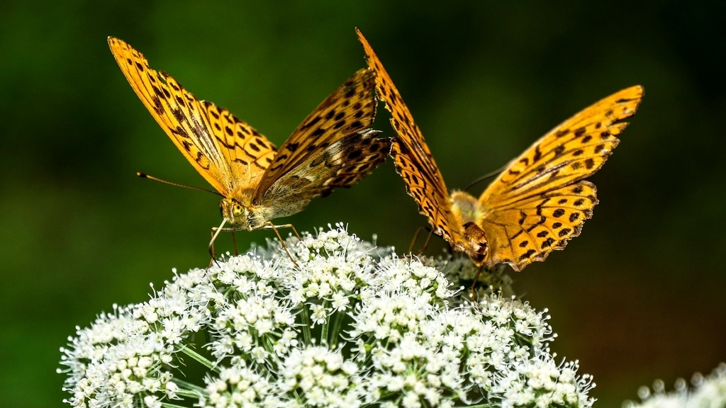 Couple of butterfly